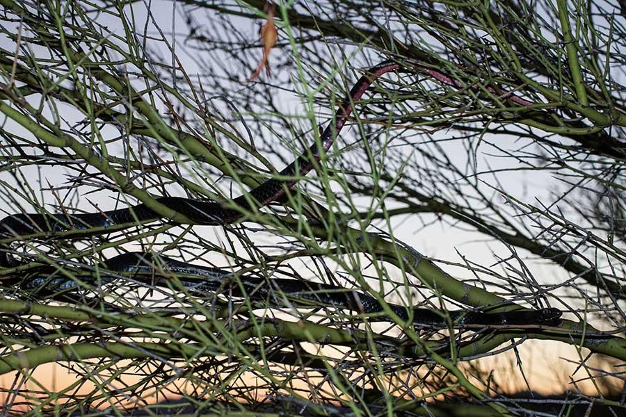 Black Racer snake. IMG_8405.jpg