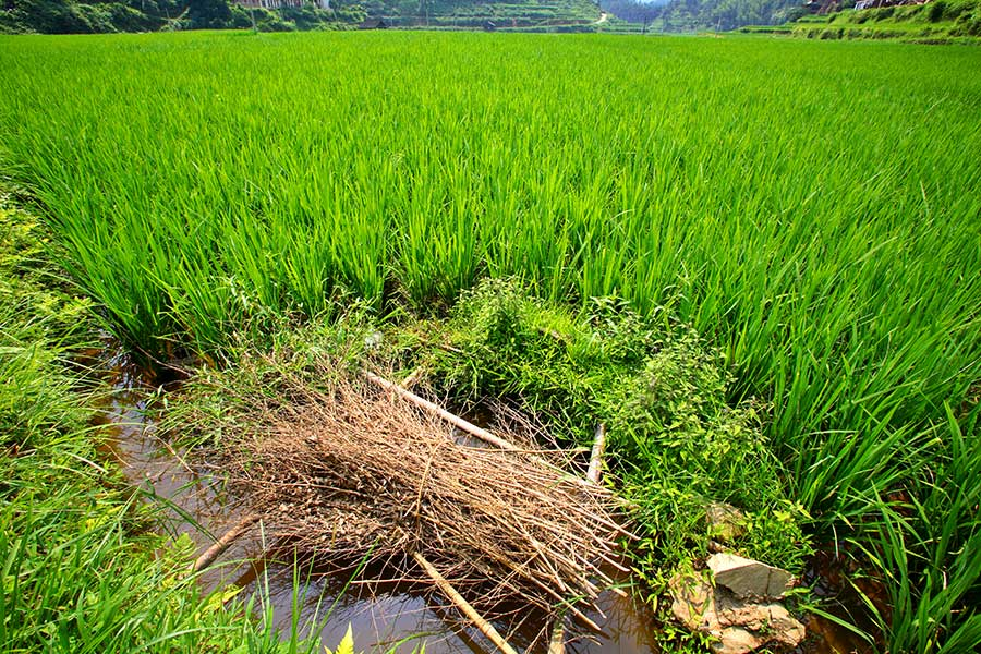 3518 An expansive rice paddy with a fish nest in foreground.