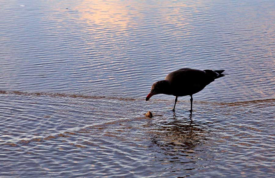 Seagull eating sand crab.