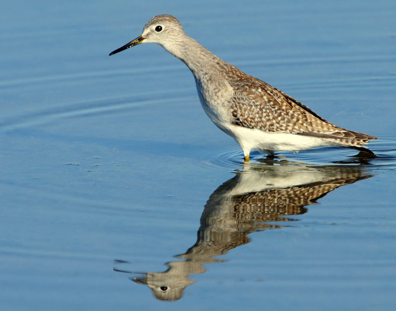Yellowlegs Lesser D-003.jpg