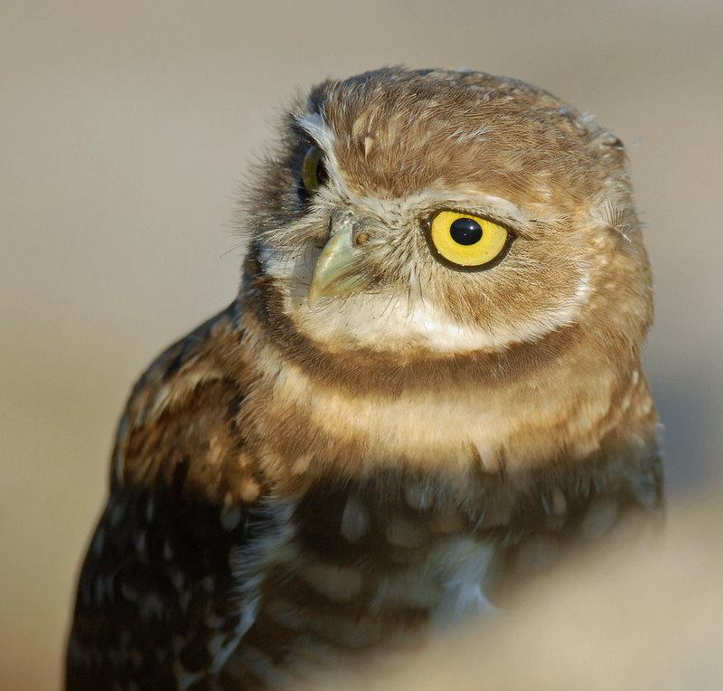 Owls, Burrowing