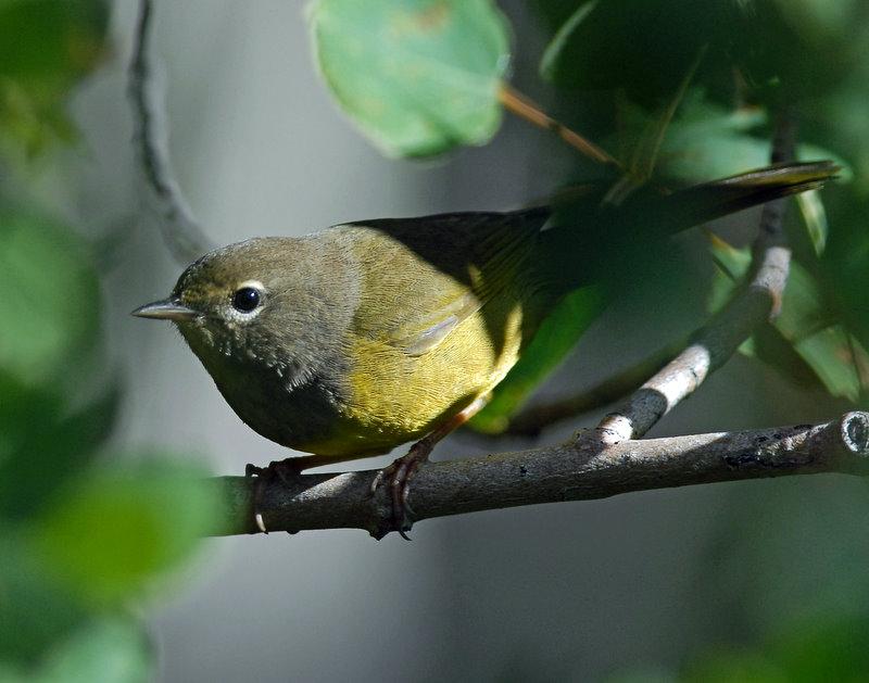 Warbler, MacGillivrays