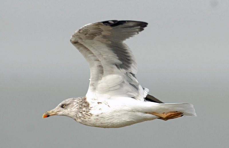 Gull, Black-backed #2