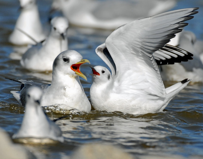 Kittiwake, Black-legged