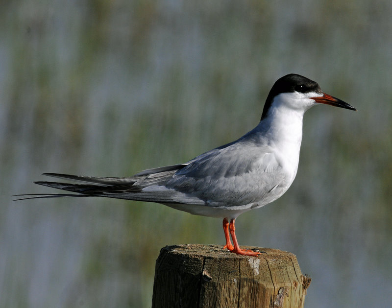 Tern, Forsters