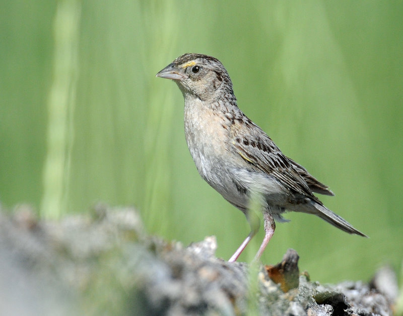Sparrow, Grasshopper (Adult)