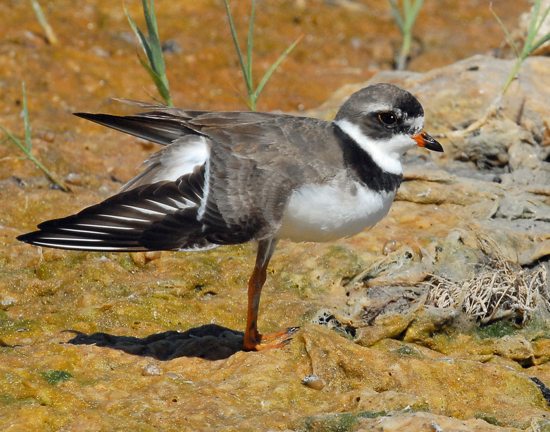 Plover, Semipalmated