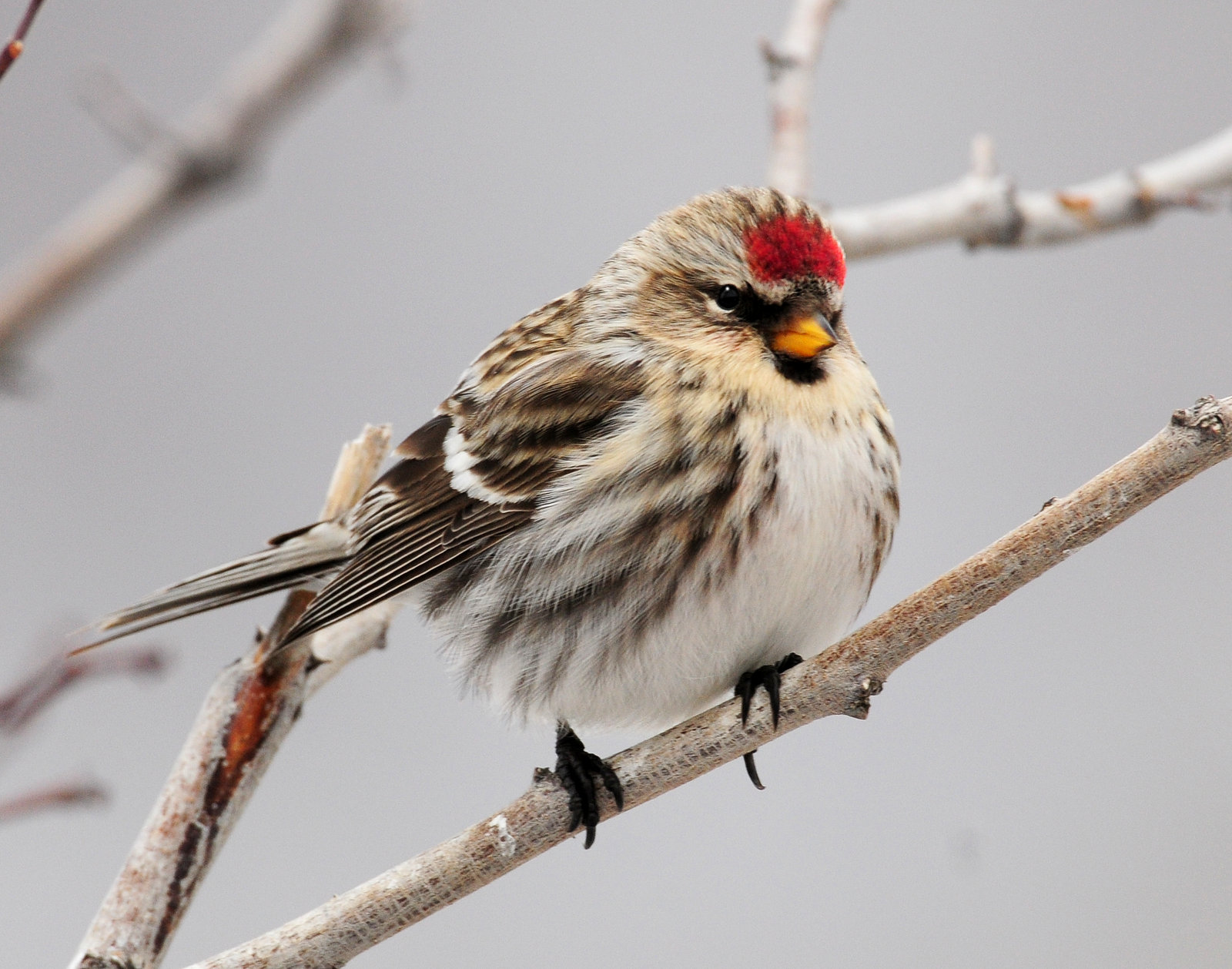 Redpoll Common D-085.jpg