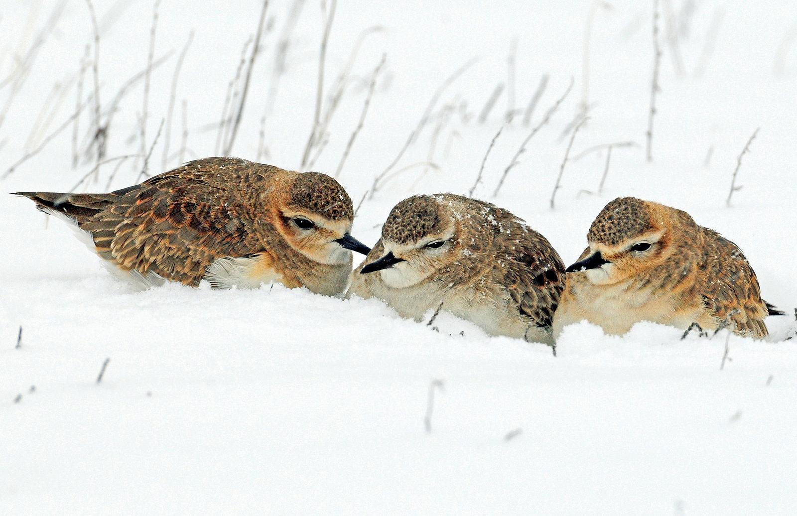 Plovers, Mountain