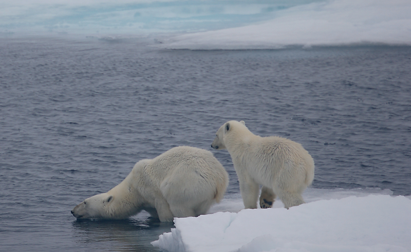 Polar Bear female with cub going in OZ9W7092