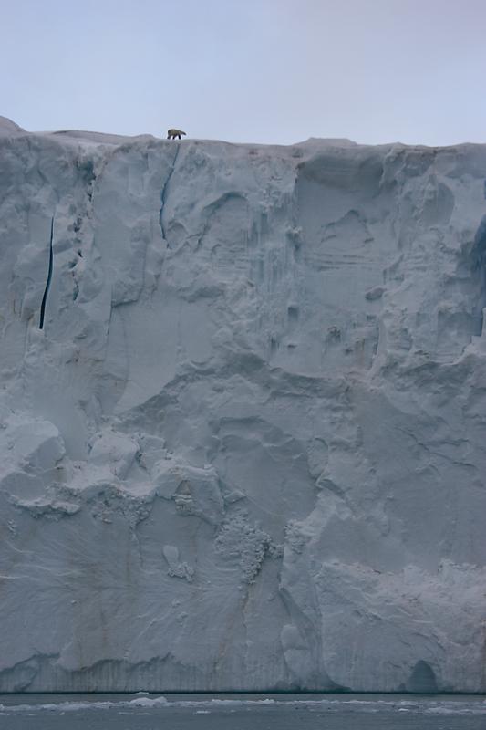 Polar Bear on glacier front