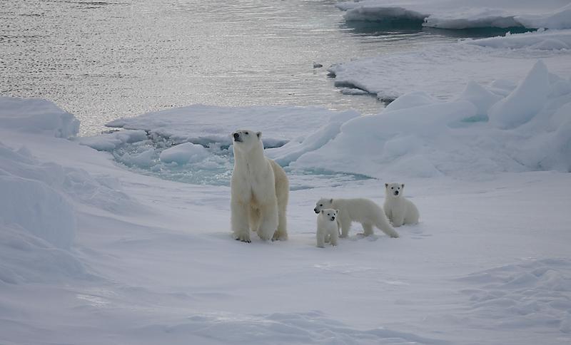 Polar Bear female with 3 first-year cubs OZ9W9110