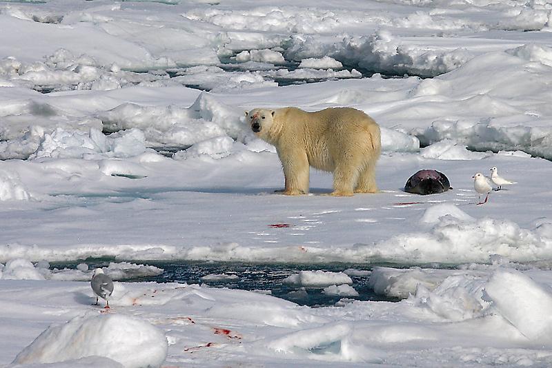 Polar Bear young male with kill OZ9W9630