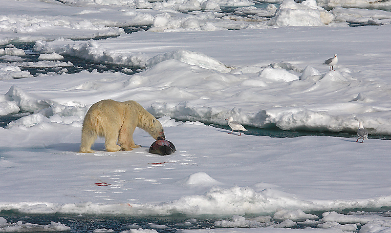 Polar Bear young male with kill OZ9W9640
