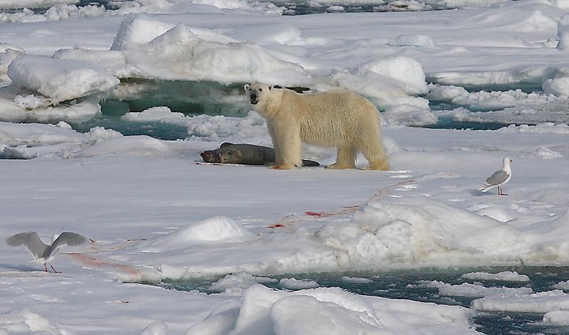 Polar Bear young male with kill OZ9W9671