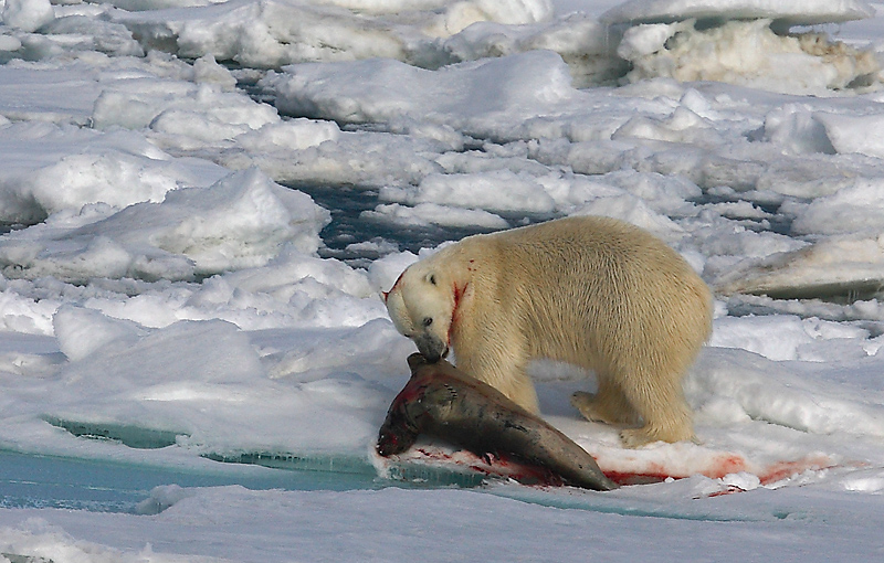 Polar Bear young male with kill 2