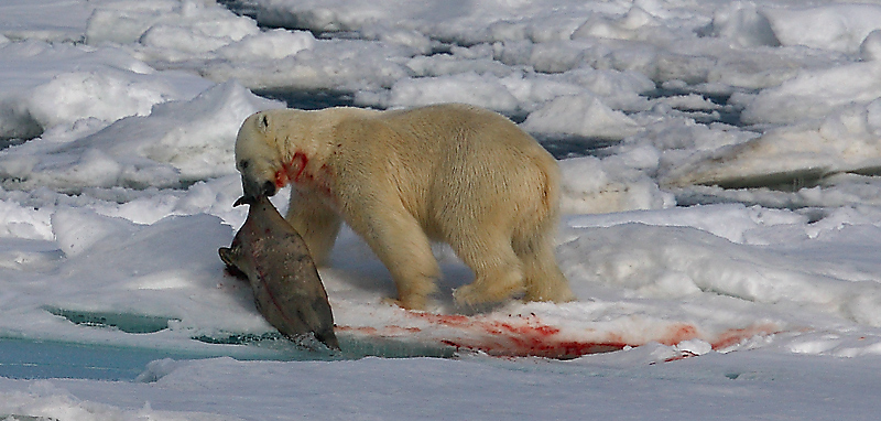 Polar Bear young male with kill OZ9W9693