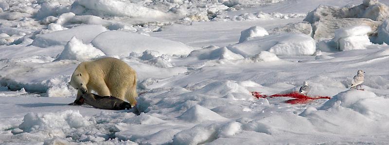 Polar Bear young male with kill OZ9W9808