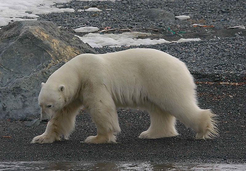 Polar Bear big male on shore OZ9W5910