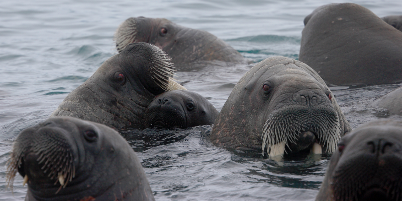 Walrus females and pup OZ9W0487