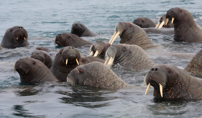 Walrus females and pups OZ9W0573