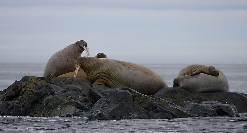 Walrus females and a pup OZ9W5781