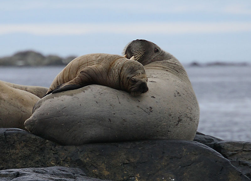 Walrus female and her pup OZ9W5782
