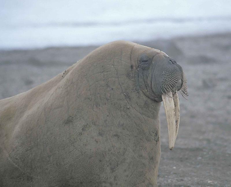 Walrus female 3