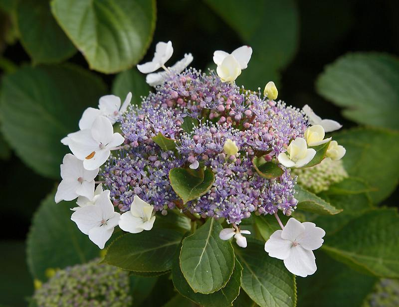 Flower Lajes Pico OZ9W9215
