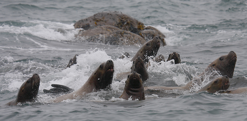 Stellers Sea Lions curious Kamchatka OZ9W4829