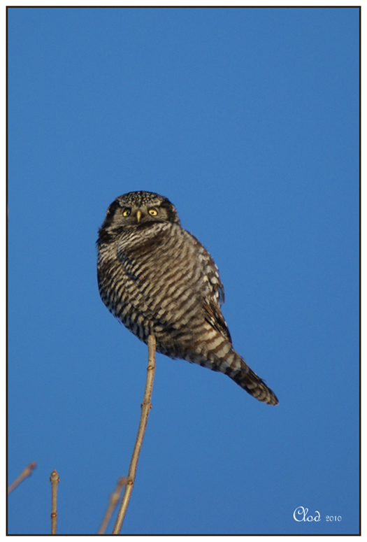 Chouette épervière- Northern hawk-owl