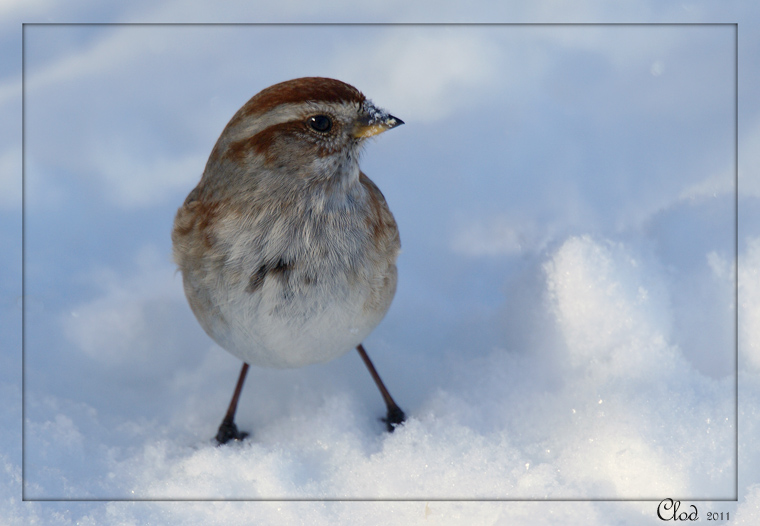 Bruant hudsonien - American Tree Sparrow