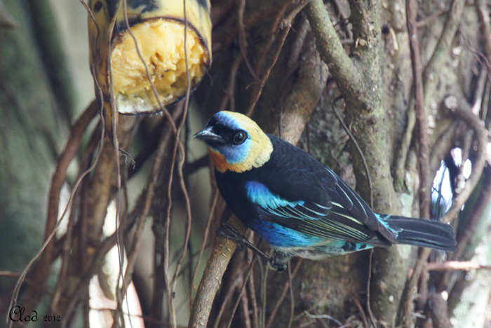 Calliste à coiffe dor - Golden-hooded Tanager