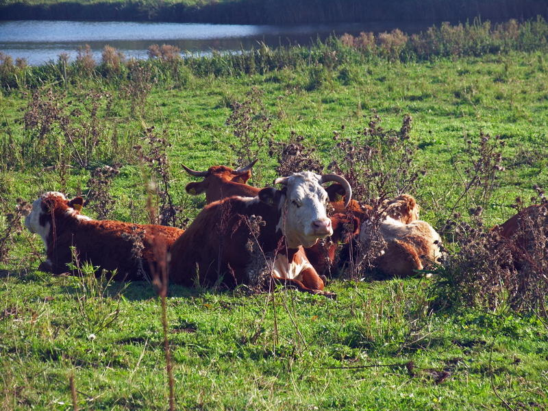 Local cows at lunch rest