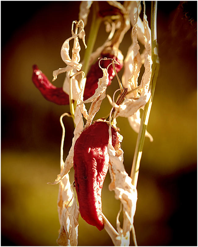 Wilted Chilis