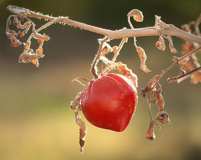 Death of a Tomato