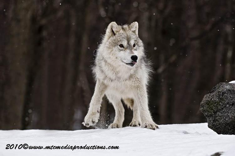 arcticwolf49.jpg