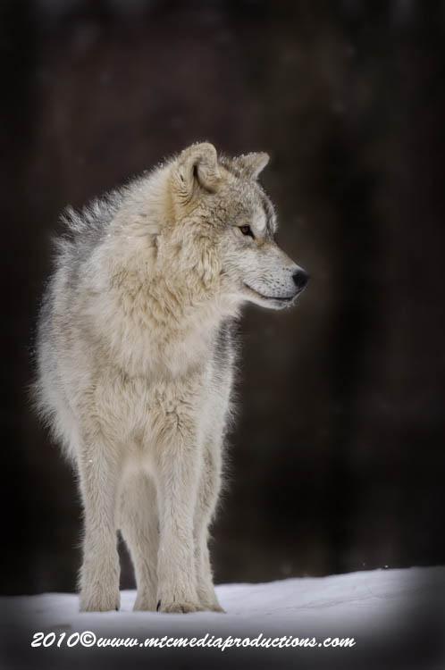 arcticwolf62.jpg