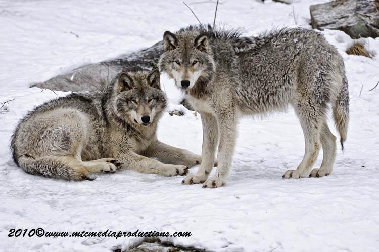 timberwolf103.jpg