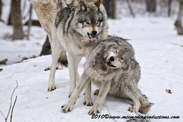timberwolf116.jpg