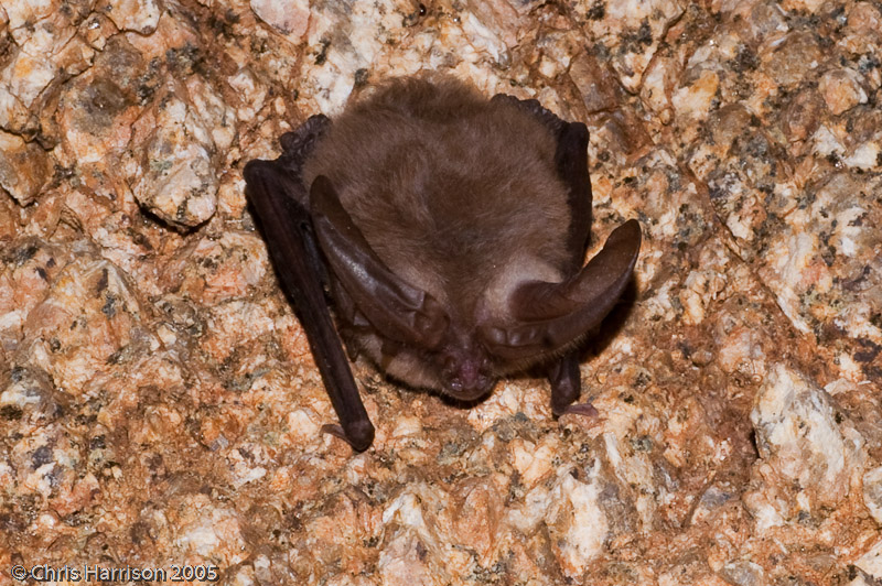 <i>Plecotus townsendii</i><br>Townsends Big-eared Bat<BR>San Diego, CA