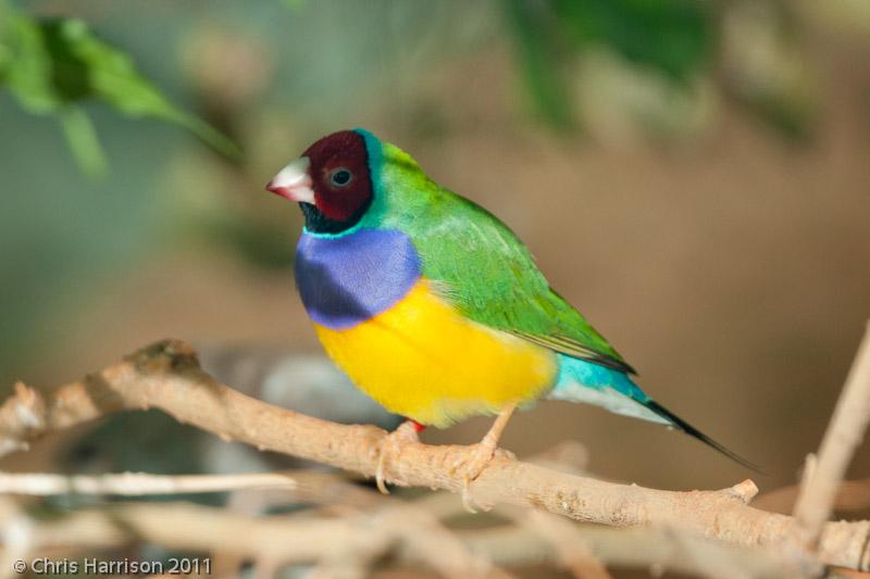 Gouldian Finch<br>San Antonio Zoo