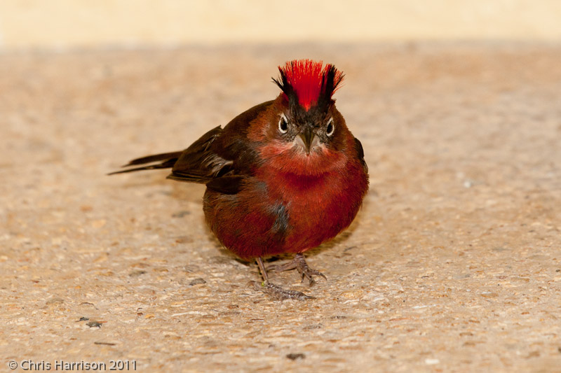 Red-crested Finch<br>San Antonio Zoo