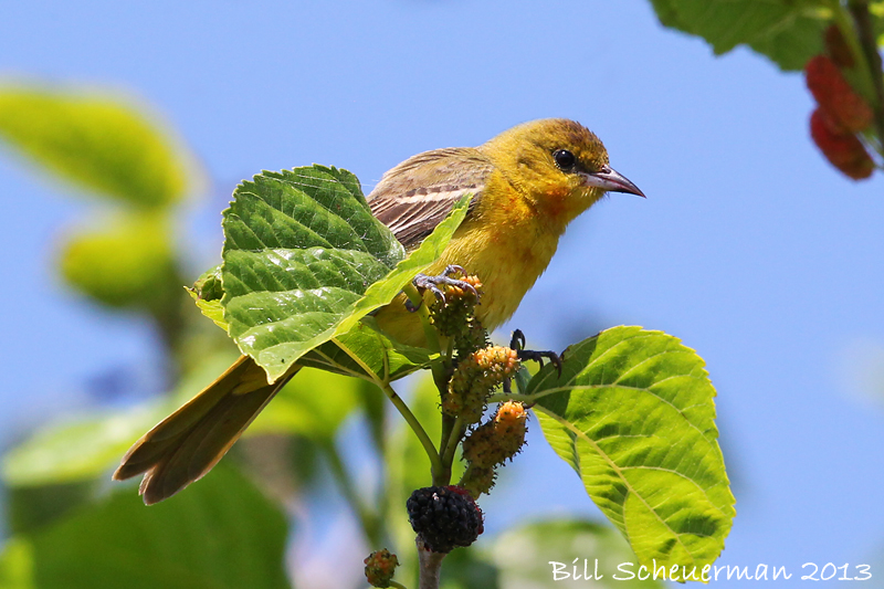 Orchard Oriole Female