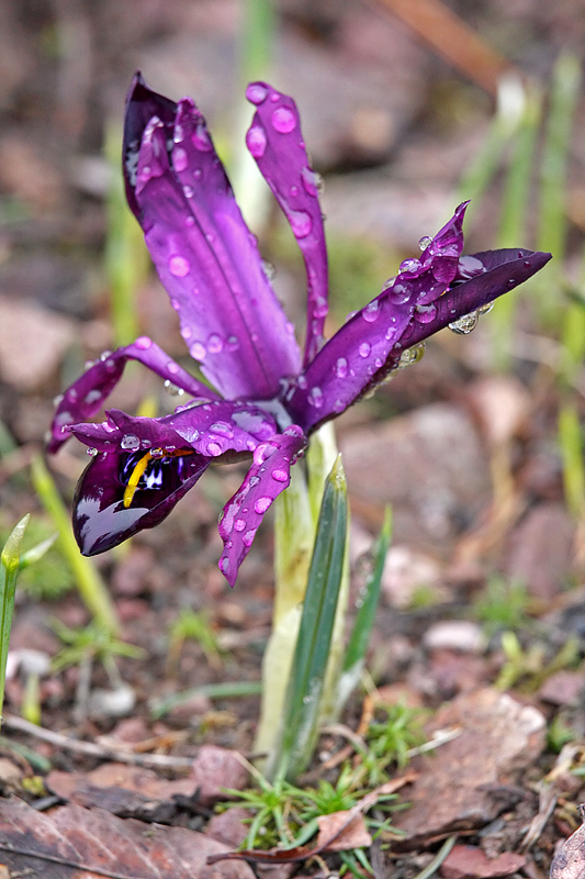 Kleine Netzblatt-Iris <I>(Iris reticulata)</I>