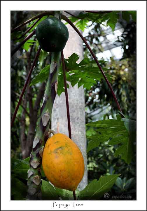 IMG_5827 Papaya Tree.jpg
