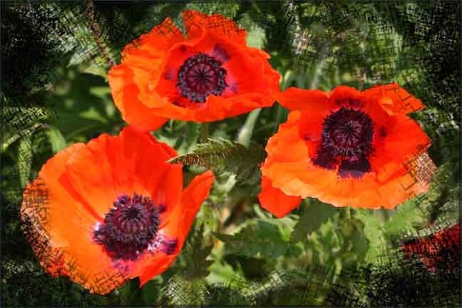 IMG_7730 Poppy Trio Photoart copy.jpg