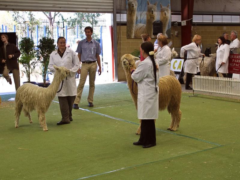 Judging Alpacas