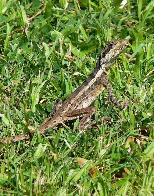 Ta Ta lizard, so called because it waves its front paw at you.