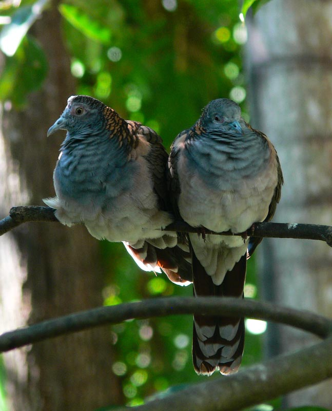 native doves